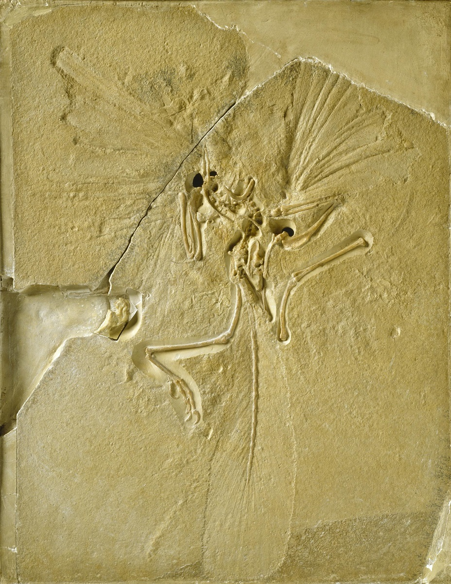 始祖鳥 ©The Trustees of the Natural History Museum, London