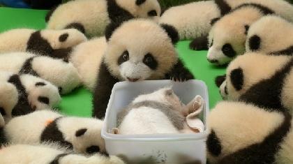 赤ちゃんパンダたちの「一番かわいい時期」が短編映画に 『グレーの子パンダ~小さなグレートの成長日記~』が公開へ