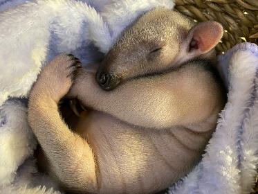 伊豆シャボテン動物公園でミナミコアリクイの赤ちゃんの様子を生配信、一般公開もスタート