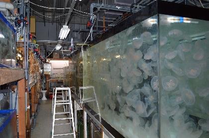 新江ノ島水族館で「おひとりさま水族館」「おふたりさま水族館」夏も開催、ジャズの生演奏やクラゲ飼育のバックヤード見学も