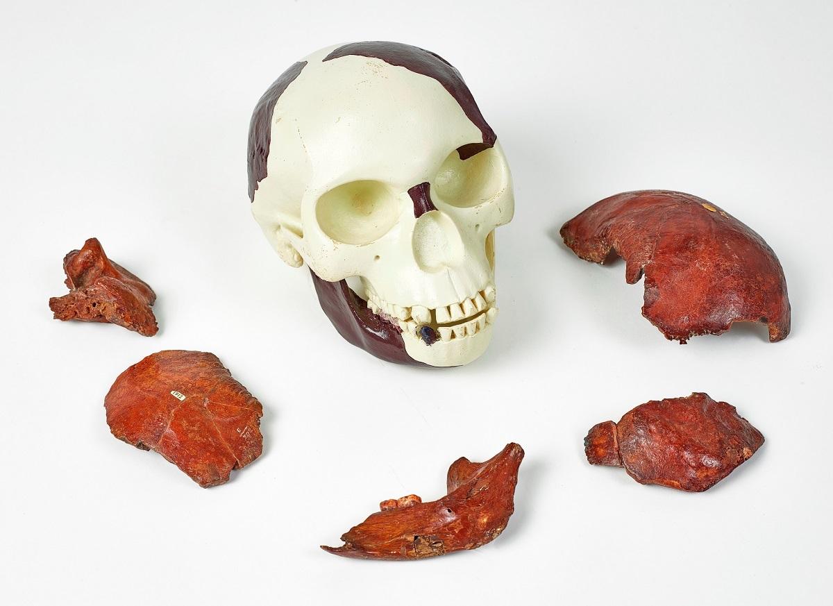 ピルトダウン人の頭骨片と下顎骨 ©The Trustees of the Natural History Museum, London