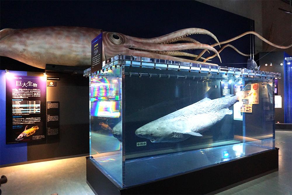 """特別展『深海 2017~最深研究でせまる""""生命""""と""""地球""""~』より、オンデンザメの標本とホウズキダイオウイカの模型"""