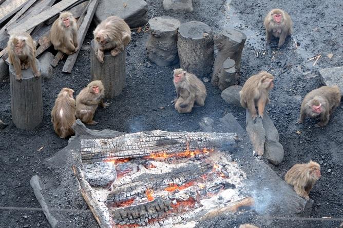 たき火にあたるヤクニホンザル