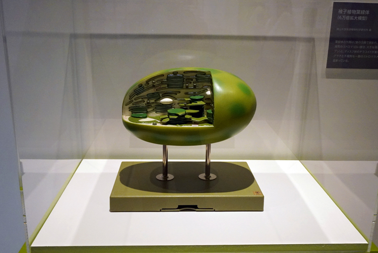 被子植物葉緑体(6万倍拡大模型) 岡山大学資源植物科学研究所蔵 ※葉緑体は植物が光合成を行う場所。