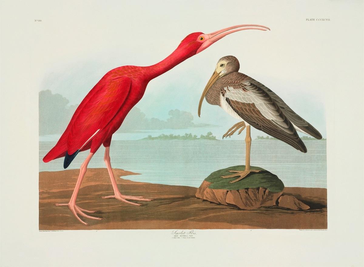 ジョン・オーデュボン 『アメリカの鳥』 ©The Trustees of the Natural History Museum, London
