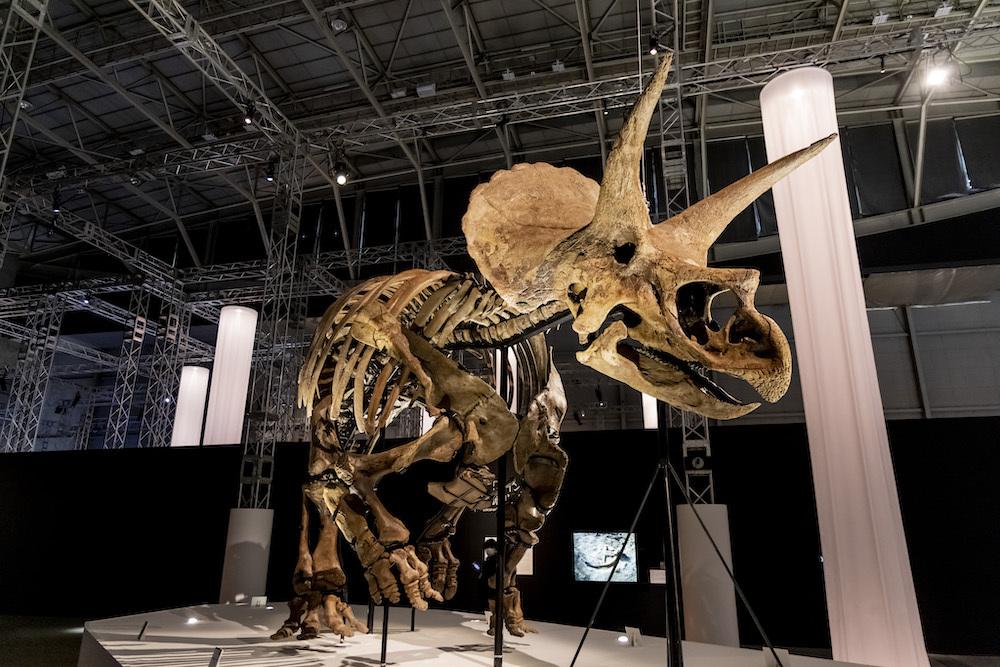 両館の特別協力のもとに初来日が実現した、世界一美しいトリケラトプスの実物化石「レイン」 ※ヒューストン自然科学博物館所蔵