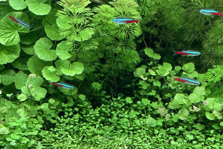 水槽《グリーン・ヘブン》のネオン・テトラ。水と水槽のガラスの透明度が高く、魚たちが空中を泳いでいるように見える。