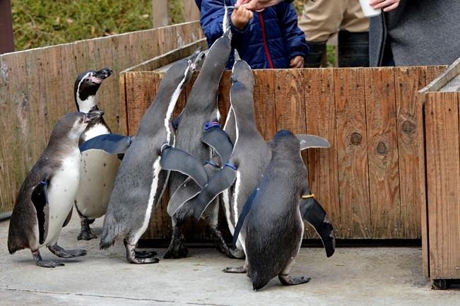 人気イベント「ペンギンのランチタイム」
