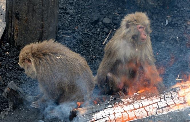 毛を燃やしてしまうこともあるほど、火に近づくサルたち