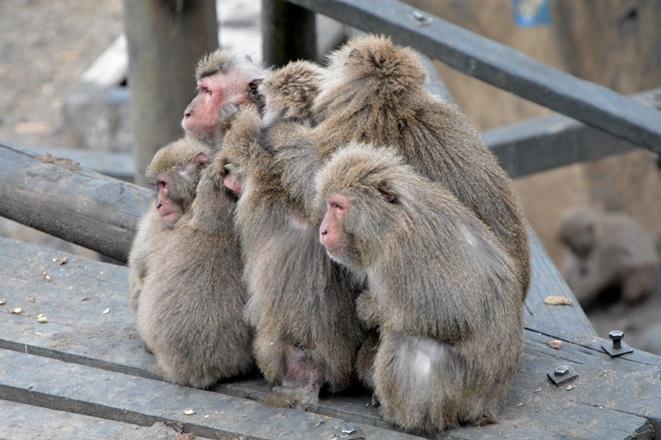 体を寄せて温め合う「サル団子」