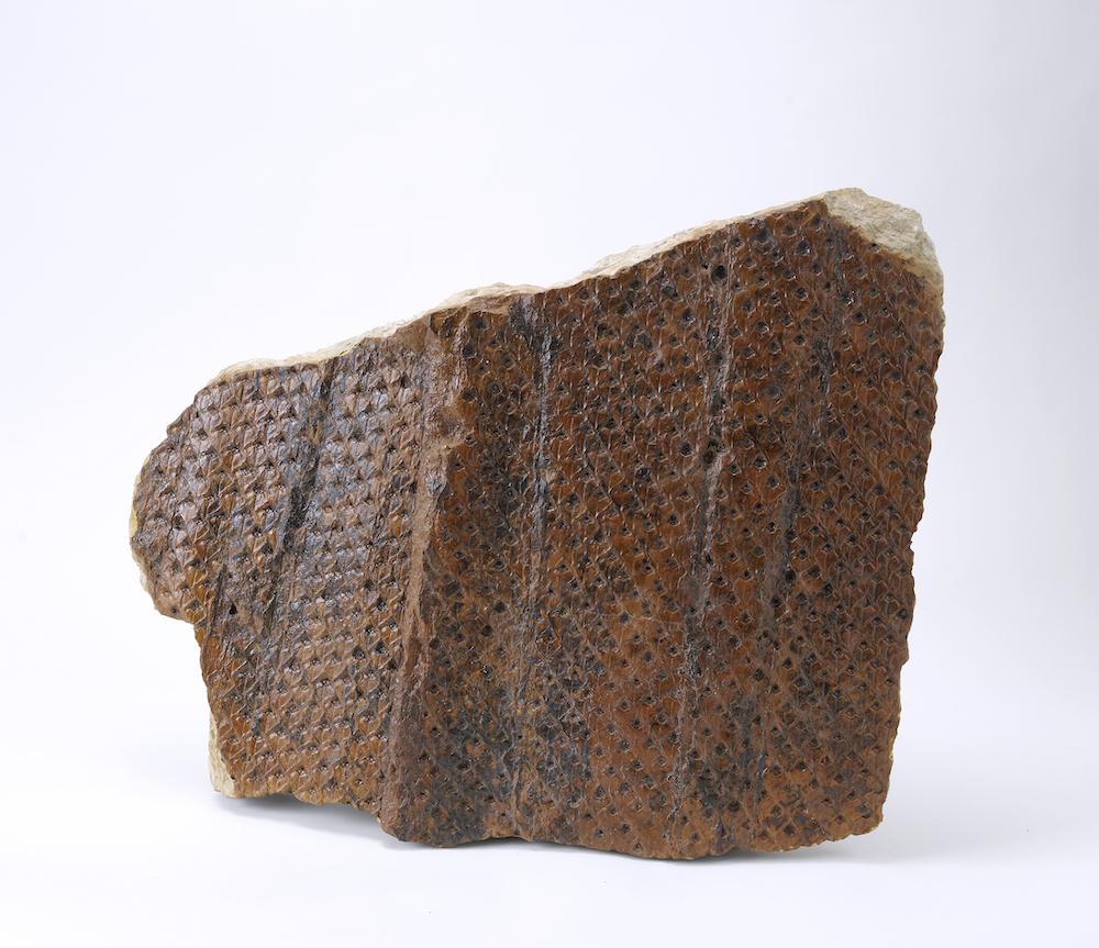 3億年前の樹木 レピドデンドロンの幹 大阪市立自然史博物館 蔵