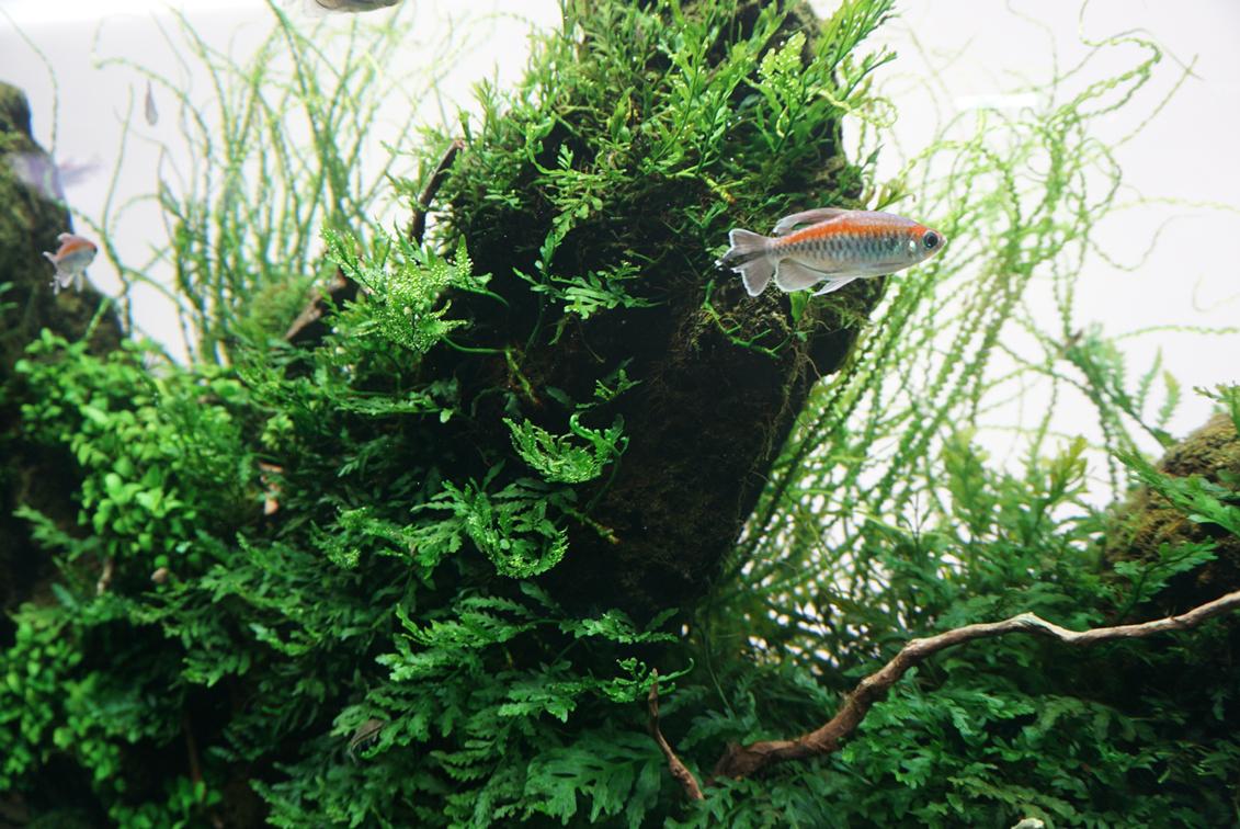 アフリカ産のコンゴ・テトラも元気に泳いでいる