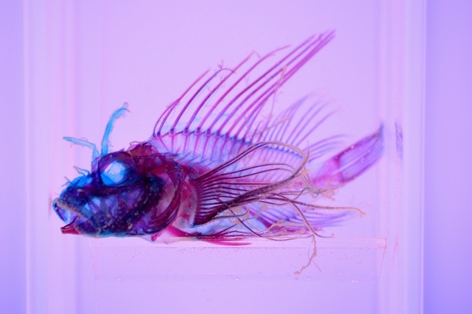 ミノカサゴ(透明骨格標本)