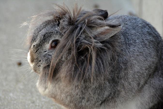 「ライオンドワーフ」という種類のウサギ