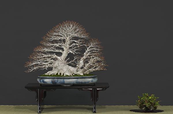 繊細にほぐれた枝先が美しい「ぶな・銘『臥龍』」
