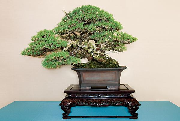 盆栽としても人気の「五葉松(ごようまつ)・銘『親和』」