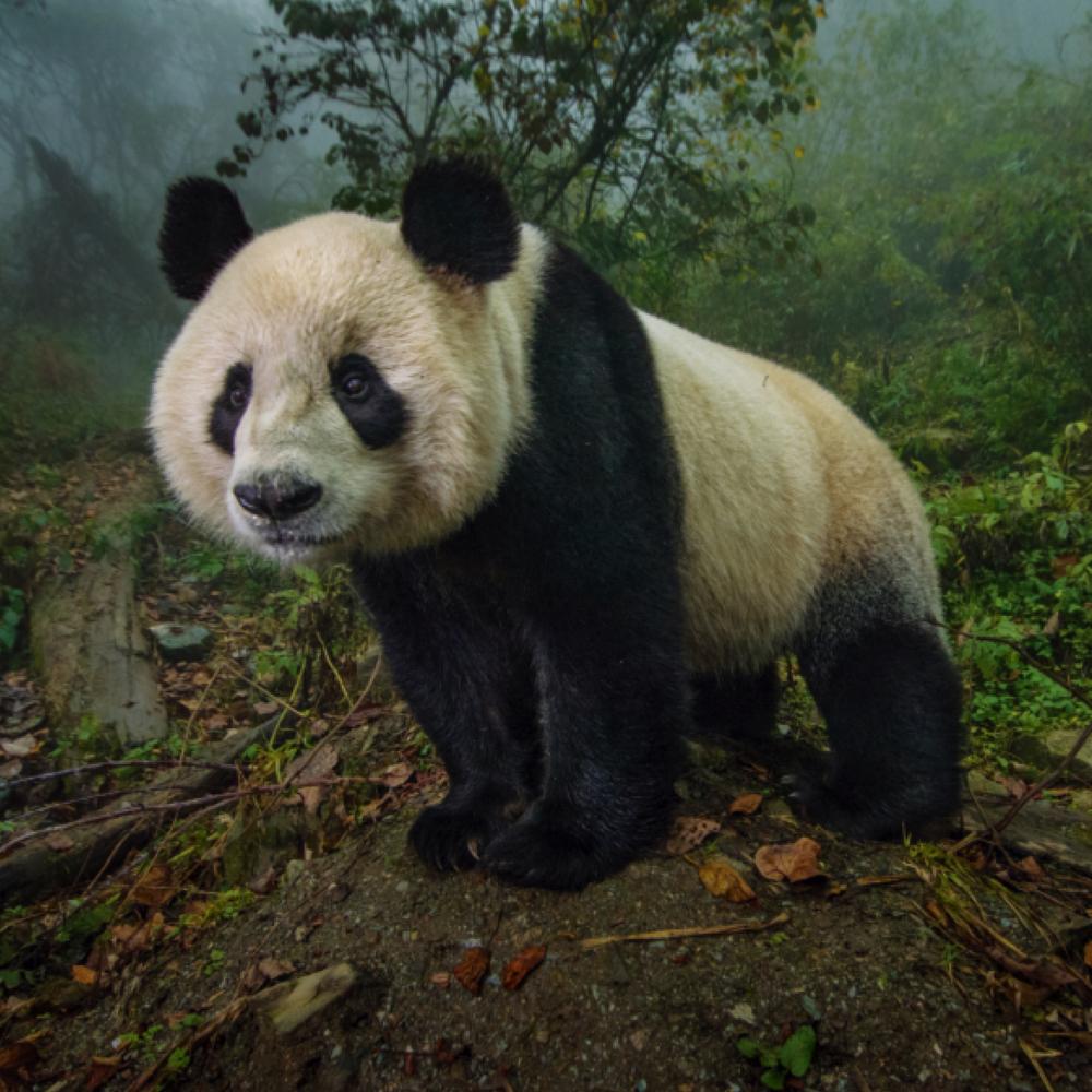 山の中で生きるジャイアントパンダ