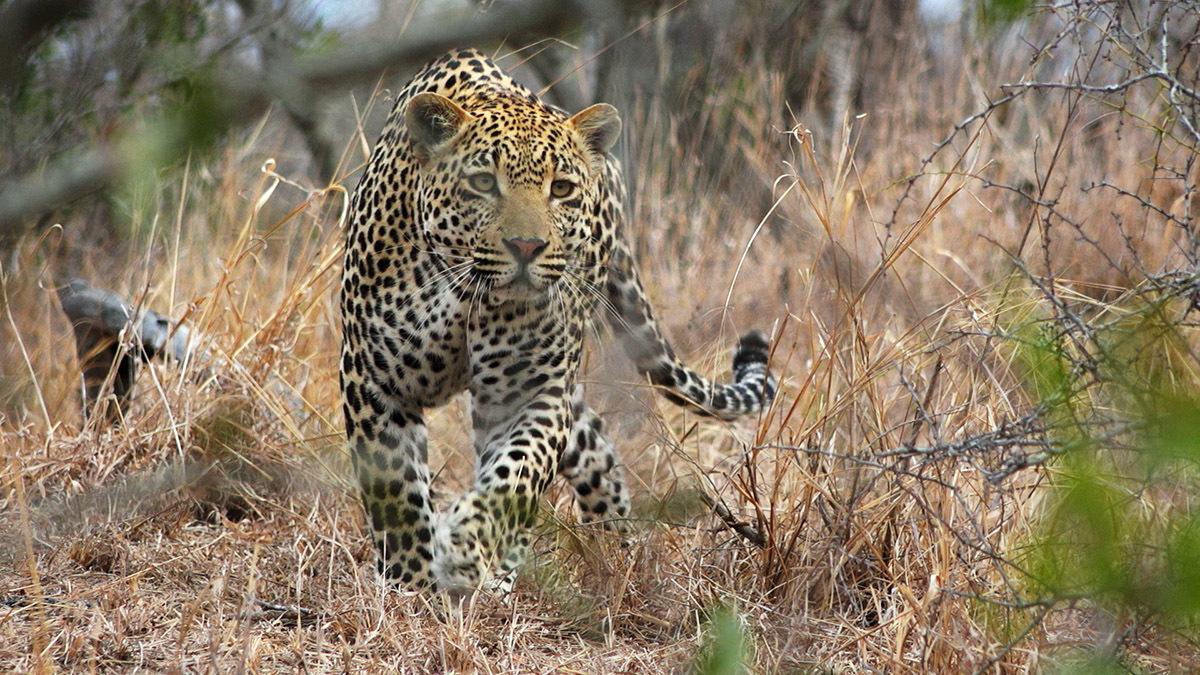 『ヒョウ:王家の一族』より (c)National Geographic