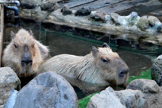 飼育されているのは「コッペ」と「クラリス」の2頭