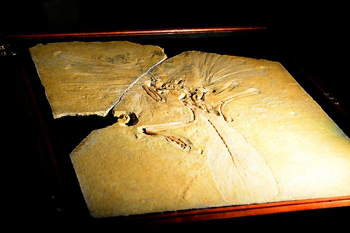 始祖鳥│ドイツ ジュラ紀後期、1億4700万年前