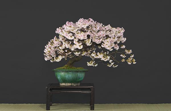 余すところなく花を咲かせた「寒桜(かんざくら)」