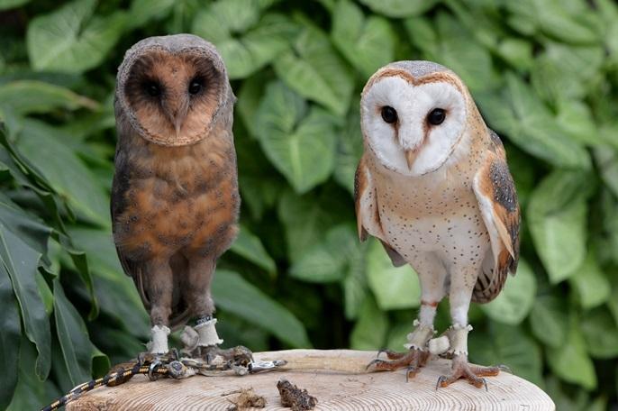 メンフクロウ(左は珍しいブラックタイプ)
