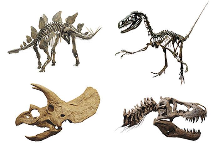 福井県立恐竜博物館から、貴重な標本が集結 ステゴサウルス(左上)・フクイベナートル(右上) トリケラトプス頭骨(左下)・ティラノサウルス頭骨(右下) 福井県立恐竜博物館所蔵