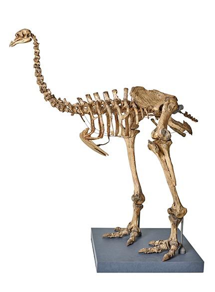 モア全身骨格 │ ニュージーランド 完新世、約500年前