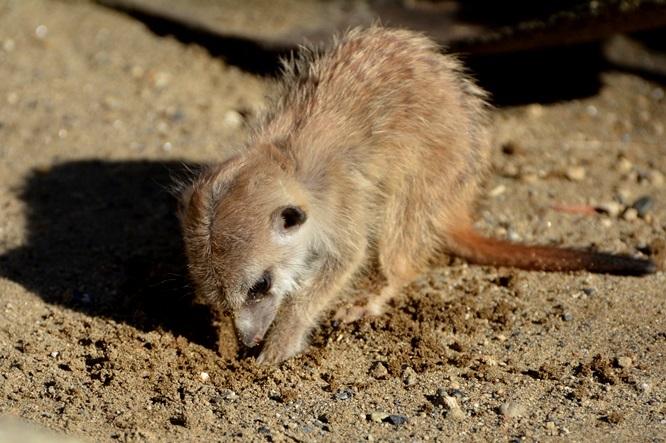 大人のマネをして穴を掘ろうとしている赤ちゃん(よこはま動物園ズーラシアにて2015年11月に撮影)