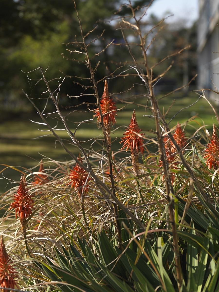 """若木信吾 「キダチアロエの花」 """"Aloe Flower"""" ©Shingo Wakagi"""