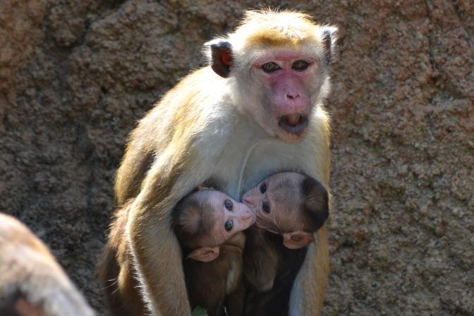 トクモンキーの母親と赤ちゃん(2016年1月に誕生)