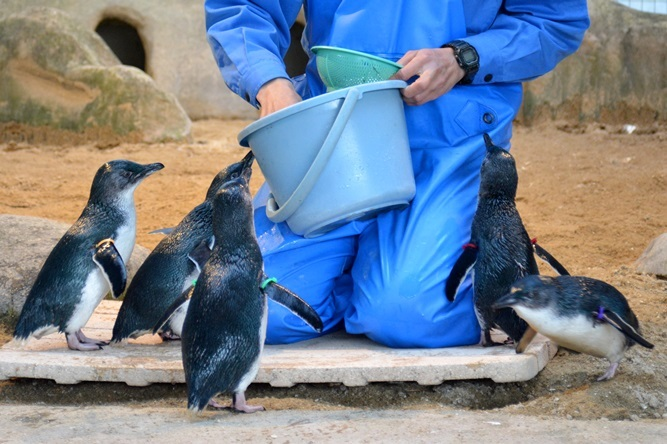 コガタペンギン