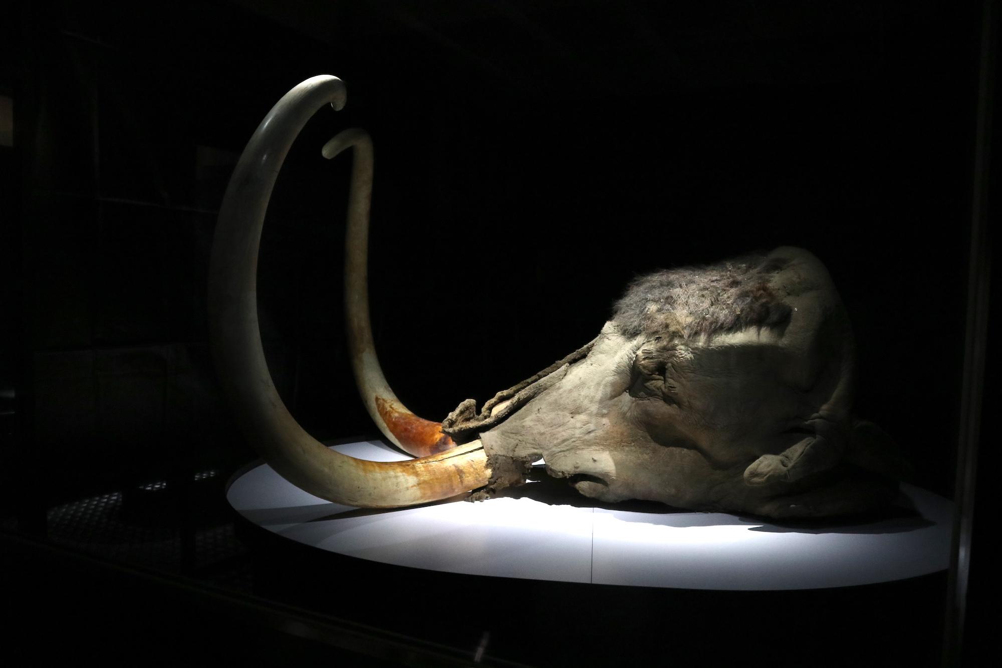「ユカギルマンモス」の頭部冷凍標本