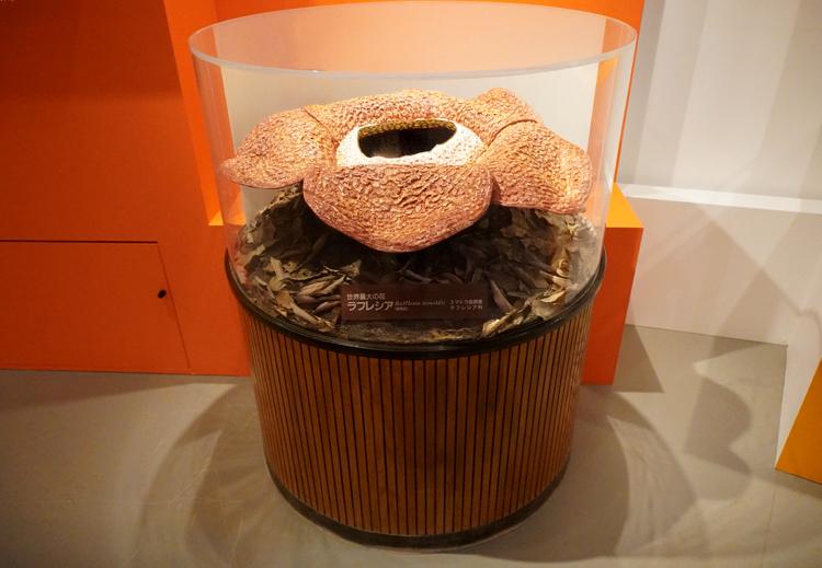 ラフレシア(実物大模型) 京都府立植物園蔵