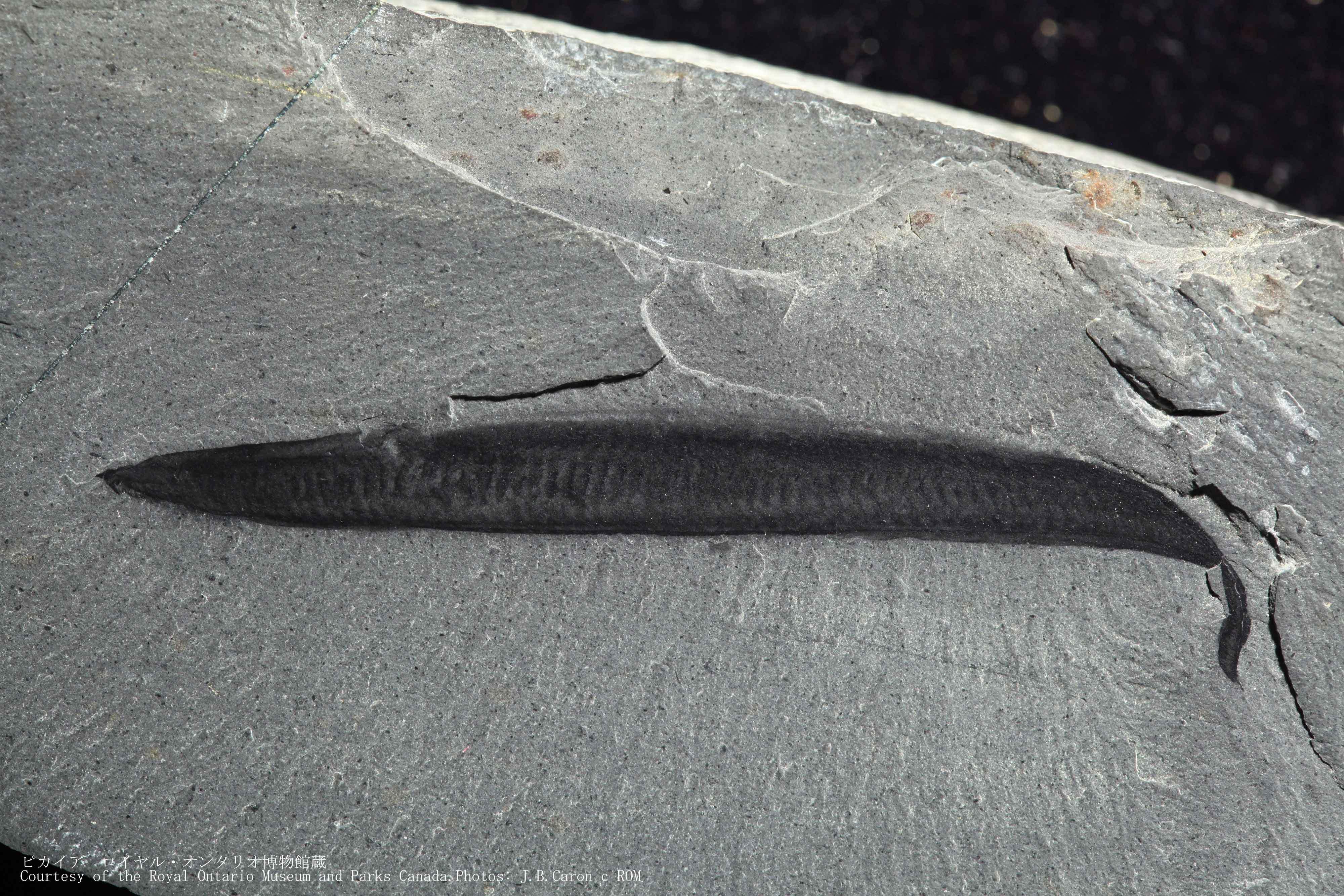 初期の脊索動物「ピカイア」