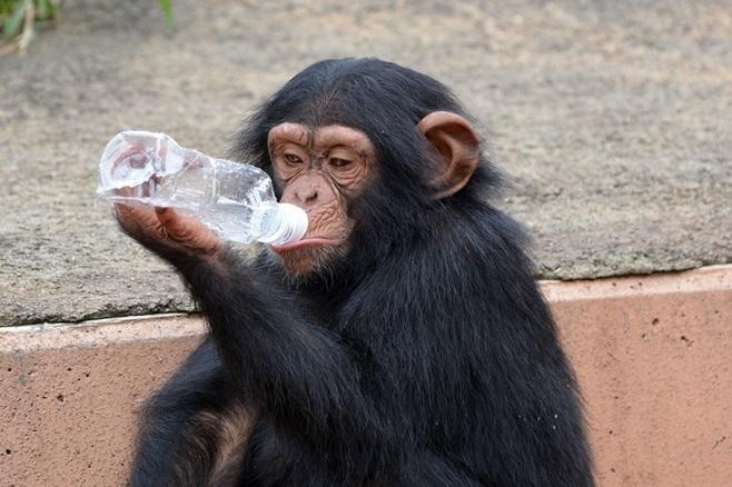 ペットボトルに自分で水を入れて、その水を飲むチンパンジー