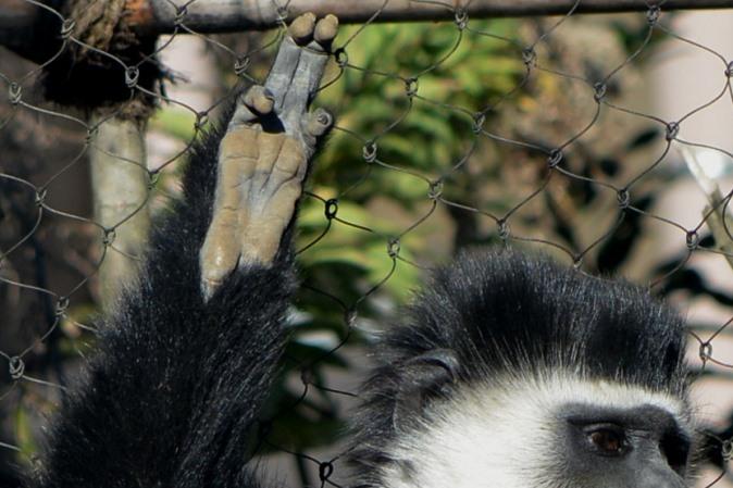 手(前足)の指は4本(よこはま動物園ズーラシアにて撮影)