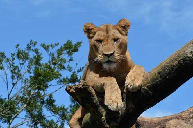 木に登るライオン
