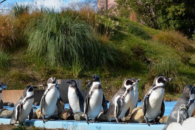 プールサイドに集まるペンギンたち
