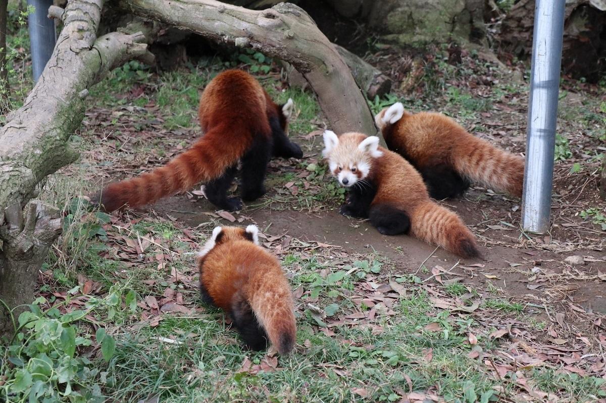 元気に成長する3つ子のニシレッサーパンダ