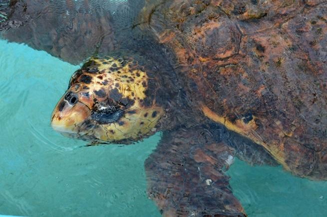 世界最高齢のアカウミガメ「浜太郎」