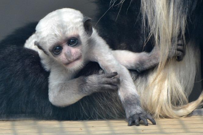 生後2ヶ月ぐらいの赤ちゃん(よこはま動物園ズーラシアにて2014年7月に撮影)