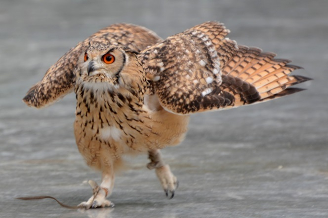 飛ぶより歩いたときの方が歓声が多かったベンガルワシミミズク