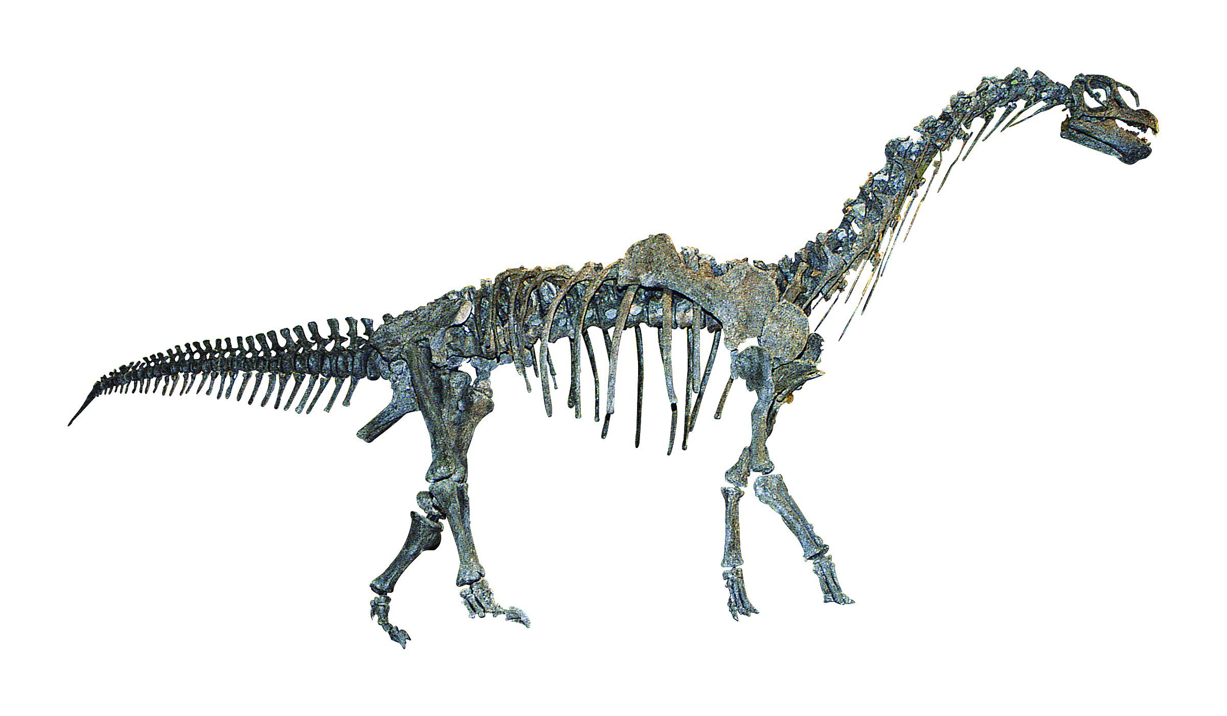 カマラサウルス亜成体 全身復元骨格