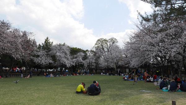 水前寺成趣園の桜(撮影:u1729)