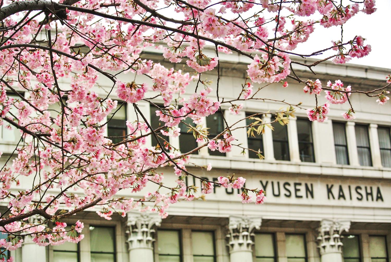 「みなとみらいの桜の名所 ー 汽車道 × 横浜赤レンガ倉庫」 「日本郵船前」photo by 大野隆一