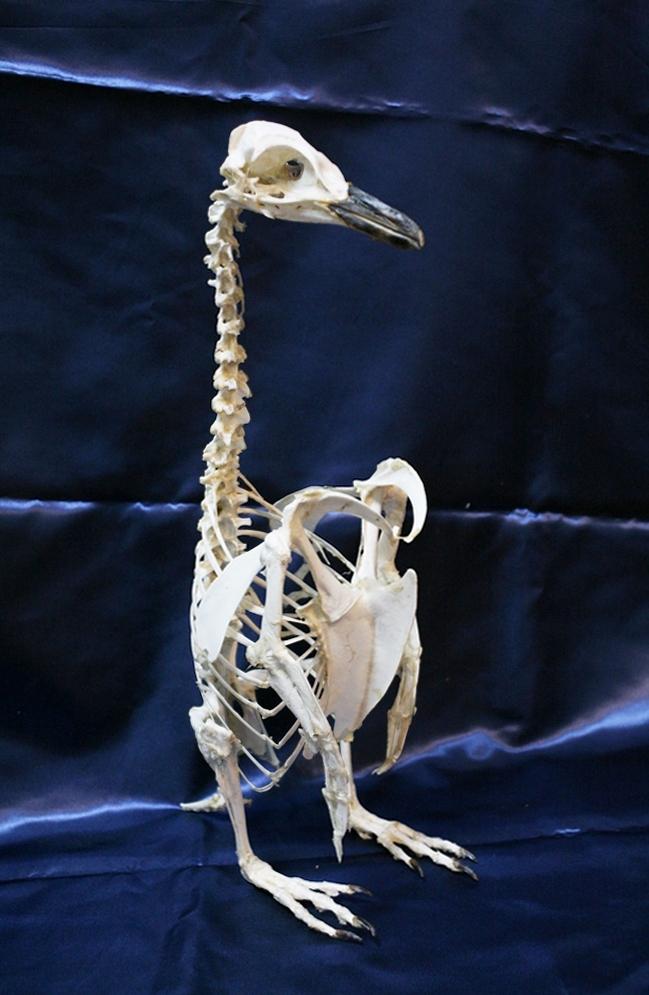 マゼランペンギン全身骨格