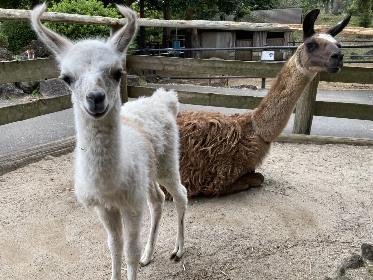 伊豆シャボテン動物公園でラマ、クロカンガルー、リスザル、ショウガラゴの赤ちゃんが誕生