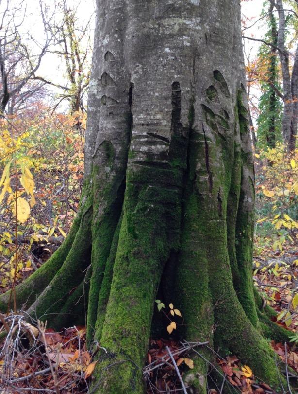 ブナの大木。この古傷、クマかなあ…。