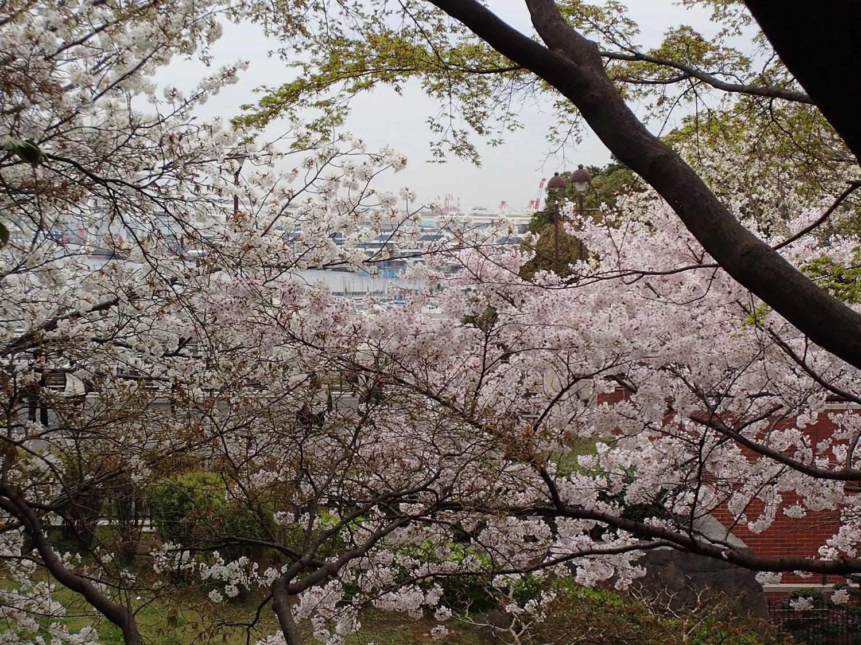大佛次郎記念館 和室からの桜
